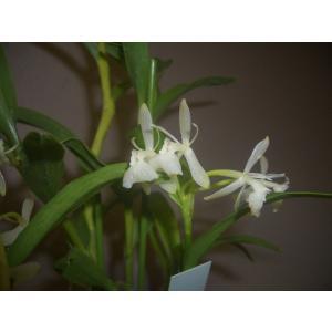 洋蘭苗 Epi. difforme 'white'  エピデンドラム 、ディフォルメ 'ホワイト'|youranhanaitiba