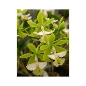 洋蘭苗 Epi.stamfordianum alba 'Alpha' x self エピデンドラム 、スタンフォーディアナム アルバ 'アルファ' x セルフ youranhanaitiba