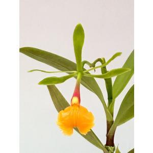 洋蘭苗 Epi. pseudepidendrum エピデンドラム属 シュードエピデンドラム youranhanaitiba
