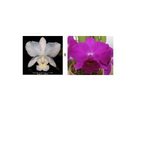 洋蘭苗 C.walkerana var.alba'Pendentive'AM/AOS X Lc.Imperial Wings'Noble' C.ワルケリアナ 'ペンディンティブ'X Lc.インペリアルウィングス'ノーブル' youranhanaitiba