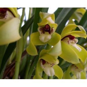 洋蘭苗 Maxillaria.porphyrostele マキシラリア.ポルフィロステレ|youranhanaitiba