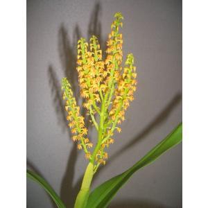 洋蘭苗 Pol.paniculata ポリスタキア、パニキュラタ|youranhanaitiba