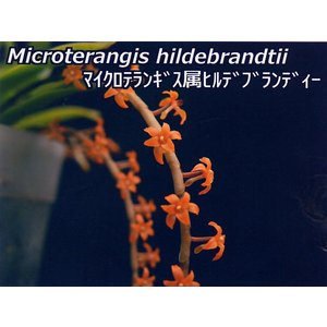 Microterangis.hildebrandtiiマイクロテランギス.ヒルデブランディー|youranhanaitiba