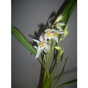 Coel.ochracea セロジネ属オクラセア youranhanaitiba