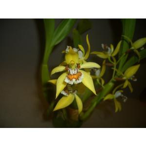 Coel.lentiginosaセロジネ属レンチギノーサ youranhanaitiba