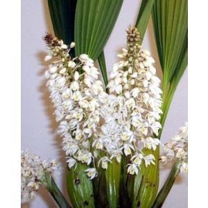 Coel.multiflora セロジネ属、マルチフローラ youranhanaitiba
