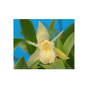 Coel.uniflora fma. alba セロジネ属、 ユニフローラ fma アルバ|youranhanaitiba