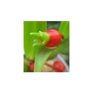 Mediocalcar.uniflora  メディオカルカー、ユニフローラ|youranhanaitiba