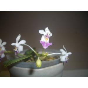 洋蘭 原種 phal.parishii var coerulea 'Regalo'ファレノプシス属 パリシー バー セルレア 'レガロ'|youranhanaitiba