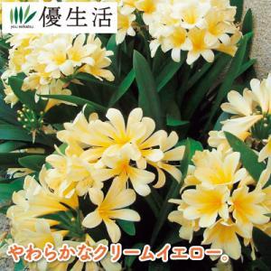 黄花君子蘭 2株