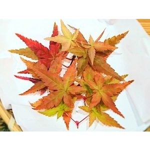 四国産 もみじの葉  (紅葉の葉 モミジ 国産) [冷蔵]|yukawa-netshop