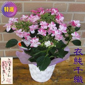母の日期間限定 塩原さんのあじさい 衣純千織 八重咲きピンク 5号鉢カバー付き|yummy