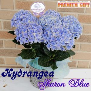 母の日 2021 花 ギフト アジサイ プレゼント 紫陽花 鉢植え 塩原さんの希少オリジナルプレミアム シャロン ブルー 5号鉢 鉢カバー入り|yummy
