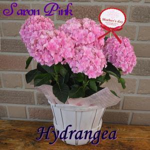 母の日 2021 プレゼント 花 ギフト アジサイ 紫陽花 鉢植え 塩原さんの希少オリジナルプレミアム シャロン ピンク 5号鉢 鉢カバー入り|yummy
