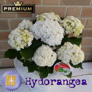 母の日 2021 花 ギフト アジサイ プレゼント 紫陽花 鉢植え 塩原さん オリジナル 新品種 希少 プレミアム 白 八重 てまり咲き 5号鉢 鉢カバー入り|yummy