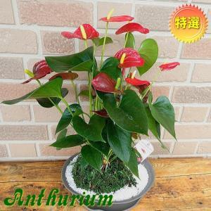 開店祝いや誕生日プレゼント、新築祝い等の贈り物に人気 特選アンスリウム コケ玉盆栽仕立て レッド|yummy