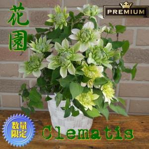 母の日 2021 花 ギフト クレマチス プレゼント 鉢植え オリジナル 希少 プレミアム はなぞの 八重咲き 5号鉢 鉢カバー入り|yummy
