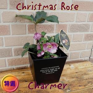 クリスマスローズの鉢植え 新品種チャーマー 5号 オシャレなブリキの鉢カバー入り|yummy