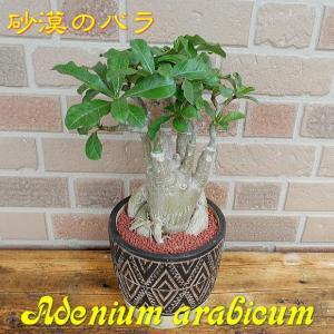 砂漠のばら スタイリッシュでオシャレなコーデックス アデニウム アジアン陶器鉢入り T-02|yummy