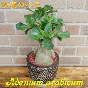 砂漠のばら スタイリッシュでオシャレなコーデックス アデニウム アジアン陶器鉢入り T-03|yummy