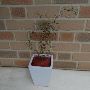 ちっちゃな葉っぱ、クネクネとした独特でモダンな樹形で人気の観葉植物ソフォラ リトルベイビー:メルヘンの木 素焼き鉢入り|yummy