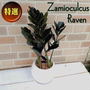 観葉植物 ギフト 誕生日 お祝い 開店祝い 鉢植え スタイリッシュ オシャレ ザミオクルカス 黒葉 レイブン 陶器鉢 ホワイト|yummy