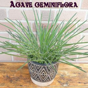 観葉植物 スタイリッシュでオシャレなアガべ・ジェミニフローラ おしゃれなアジアンアンティーク鉢入り|yummy