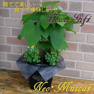 父の日やお中元のプレゼントに大人気、盆栽感覚で育てて楽しく、食べて美味しい栄養満点のフラワーギフト ...
