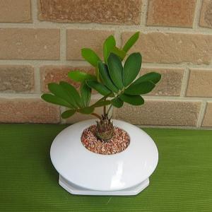 観葉植物・ザミア おしゃれな白い陶器鉢入り|yummy