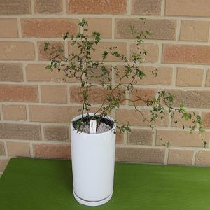 ちっちゃな葉っぱ、クネクネとした独特でモダンな樹形で人気の観葉植物ソフォラ リトルベイビー:メルヘンの木 おしゃれな白い陶器鉢入り|yummy