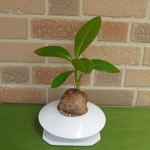 希少観葉植物・バリントニア おしゃれな白い陶器鉢入り|yummy