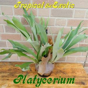 珍商品 エキゾチックでトロピカルな観葉植物 ビカクシダ 5号吊り鉢|yummy