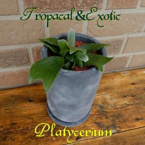 観葉植物 おしゃれ 育てやすい お中元 2021 エキゾチック トロピカル ギフト コウモリラン プレゼント 鉢植え ビカクシダ 陶器鉢 yummy