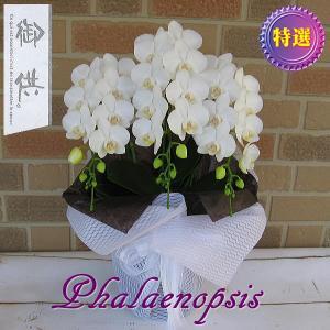 お供えやお悔やみ、お盆やお彼岸等の故人を偲ぶ贈り物に日持ち抜群のミニ胡蝶蘭の鉢植え アマビリス3本立ち|yummy