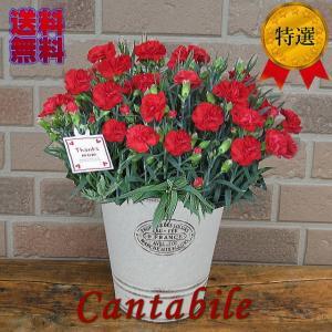 母の日のプレゼントに特選赤いカーネーションの鉢植え 5号鉢カバー入り|yummy