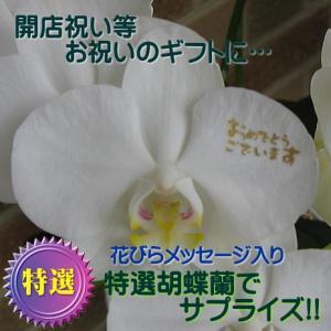 お祝いのフラワーギフトに大人気のミニ胡蝶蘭・ミディホワイト 観葉植物へデラ寄せ植え2本立ち:花びらメッセージ、おめでとうございます入り|yummy