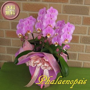 誕生日プレゼントや開店祝い等のお祝いのプレゼントに日持ち抜群のミディ系胡蝶蘭の鉢植え・クララ3本立ち|yummy