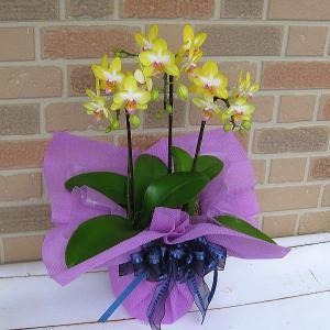 開店祝いや誕生日プレゼント等のお祝いのプレゼントに日持ち抜群のミニ胡蝶蘭の鉢植え・レモンパイ3本立ち|yummy