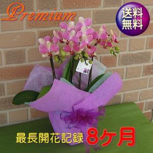 開店祝いや誕生日プレゼント等のお祝いのプレゼントに日持ち抜群のミニ胡蝶蘭の鉢植え・アンスラ・パレルモ3本立ち|yummy