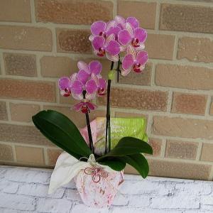 開店祝いや誕生日プレゼント等のお祝いのプレゼントに日持ち抜群のミニ胡蝶蘭の鉢植え・アンスラ・パレルモ2本立ち|yummy