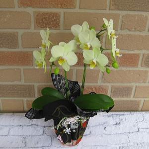 開店祝いや誕生日プレゼント等のお祝いのプレゼントに日持ち抜群のミニ胡蝶蘭の鉢植え・アンスラ・カーリー2本立ち|yummy