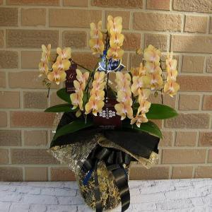 誕生日や開店祝い等お祝いのプレゼントに中輪系胡蝶蘭の鉢植え・ゴールデンマンボ5本立ち 熟成タイプ|yummy