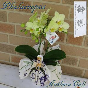 お盆やお彼岸等のお供えの贈り物に ミディ系胡蝶蘭の鉢植え アンスラ・カーリー2本立ち 夏季限定 涼しげな浴衣ラッピング yummy