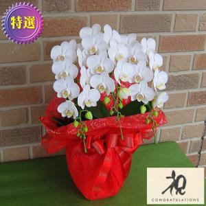 誕生日や結婚記念日等のプレゼントにミニ胡蝶蘭の鉢植え・アマビリス3本立ち 花びらメッセージ入りでサプライズ|yummy