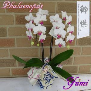 お盆やお彼岸、お供えやお悔やみの花の贈り物に ミディ系胡蝶蘭の鉢植え・ユミ2本立ち 涼しげな浴衣ラッピング yummy