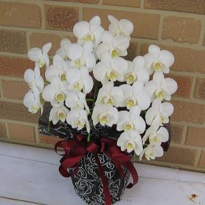 開店祝いや誕生日等お祝いのプレゼントやお供えお悔やみの贈り物にミニ胡蝶蘭の鉢植え・アマビリス3本立ち Mサイズ|yummy