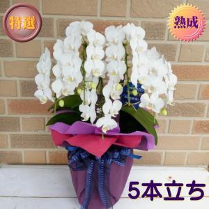 誕生日や開店祝い等お祝いのプレゼントにミディ系胡蝶蘭の鉢植え・アマビリス 5本立ち 熟成タイプ|yummy