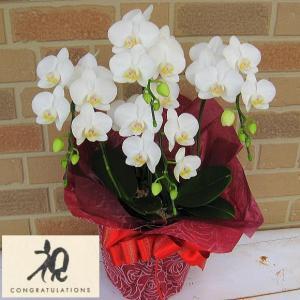 開店祝いや誕生日プレゼント等のお祝いのプレゼントに日持ち抜群のミニ胡蝶蘭の鉢植え・アマビリス4本立ち|yummy