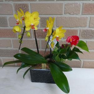 胡蝶蘭 開店祝い 誕生日 プレゼント 花 贈り物  黄色 コチョウラン 鉢植え ナオミゴールド 観葉植物 アンスリウム 陶器鉢 寄せ植え|yummy