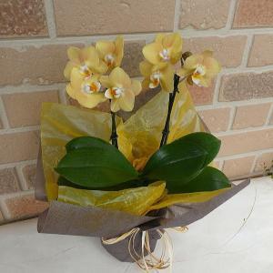 胡蝶蘭 開店祝い 花 誕生日 プレゼント お供え お悔やみ 贈り物 栗色 コチョウラン 鉢植え マロン 2本立ち|yummy